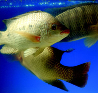 Tilapia, a freshwater fish having a mild taste, is increasing in popularity. Archer Daniels Midland is involved in producing the fish for market.