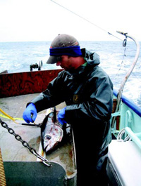 Researcher Sean Carroll collects size and temperature data of albacore tuna off the coast of Oregon for traceability and marketing purposes. Photo taken by researcher Michael Thompson, Oregon State University, aboard F/V Heidi owned and operated by Mark Halverson.