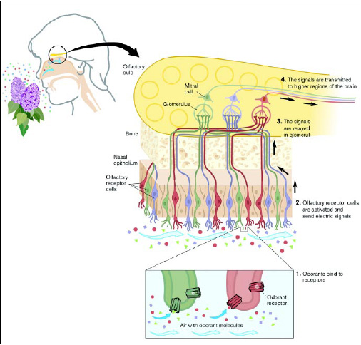Understanding how the olfactory system works may influence future product formulating, especially since smell can play an important role in the perception of taste.