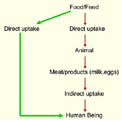 Mycotoxins can make their way through the food chain directly or indirectly.