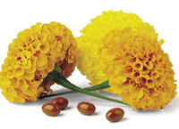 Marigolds serve as a source of commercial lutein available for use in functional foods and dietary supplements.