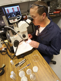 FDA forensic chemist investigating contaminated pet food isolates foreign particles from contaminated wheat gluten for chemical analysis using a stereoscopic light microscope.