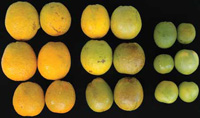 Normal, asymptomatic, and symptomatic oranges used in sensory and chemical flavor tests differ in size, color, and flavor.