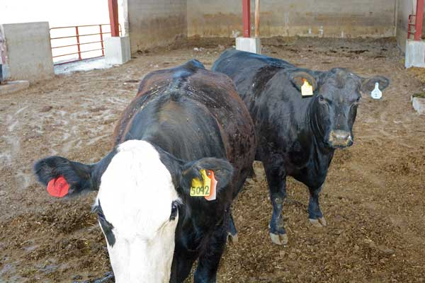 These cattle at the Utah State University farm facilities are pregnant with clones.