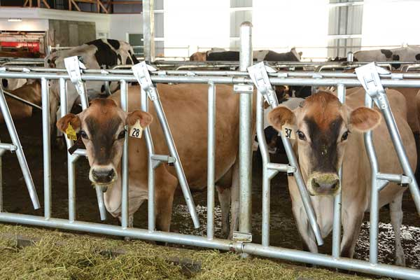 The cows in Utah State University's robotic dairy barn decide for themselves when they want to be milked.