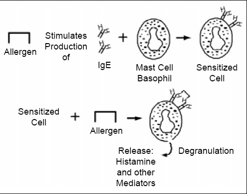 Fig. 2—Mechanism of IgE-mediated allergic reaction. Allergen is consumed, sensitizing the individual. Sensitization results in production of allergen-specific IgE-antibodies which then attach to receptors on mast cells and basophils. Upon subsequent exposure to the allergenic substance, the allergen cross-links two antibodies on the surface of the mast cell or basophil membrane, stimulating release into tissues and blood of chemical mediators of the allergic response. Adapted from Taylor et al., 1999.