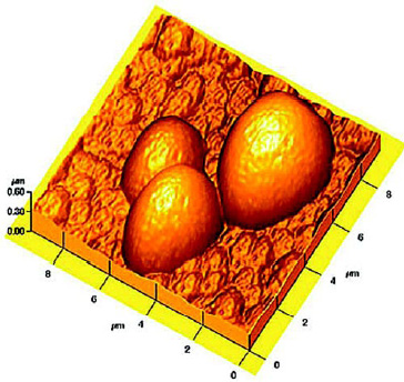 Fig. 4—Surface topography of triticale starch granules. From Juszczak (2003).
