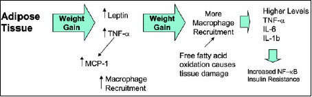 Fig. 4—Increasing levels of weight gain results in more macrophage recruitment to the adipose tissue and more inflammatory cytokine production.