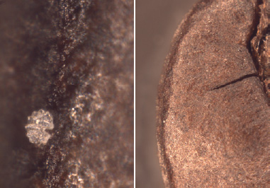 Fig. 1a —A marker situated on a coffee bean. The marker is about 50 micrometers in diameter; the original magnification of this picture is about 1,000×. Fig. 1b—This same marker on the same bean at a lower magnification. The marker here appears as the small white dot situated bottom left on the inner ridge of the toasted rim of the coffee bean; the original magnification of this picture is about 20×.