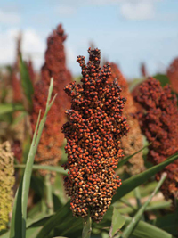 Sorghum is a major grain grown in the United States, but it is typically not used to produce food for American consumers.