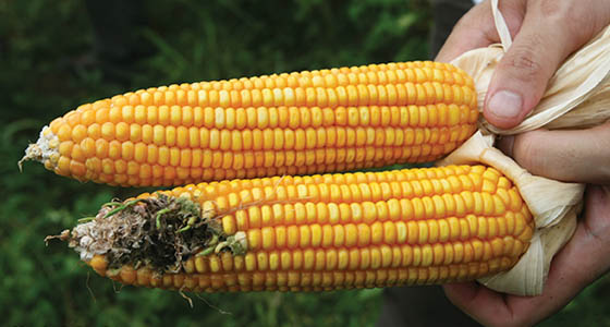 Genetically modified corn like the top ear reduces damage from insects.